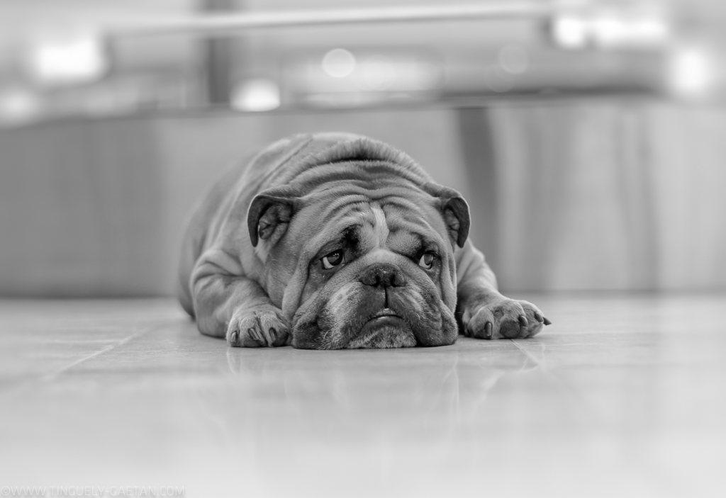 Tinguely, tinguely gaetan photographie, photographie geneve, photographie suisse, bulldog, black and white